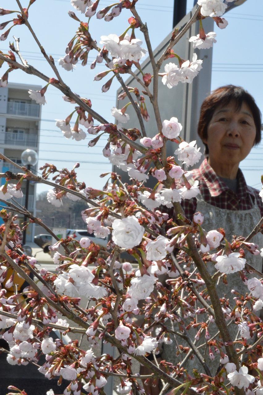 花を咲かせた熊谷桜